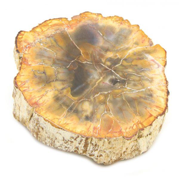 Petrified Wood Stem-0