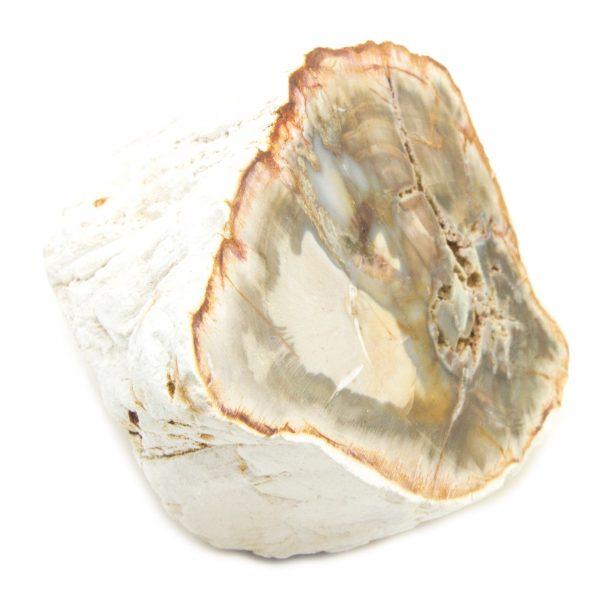Petrified Wood Stem-85560